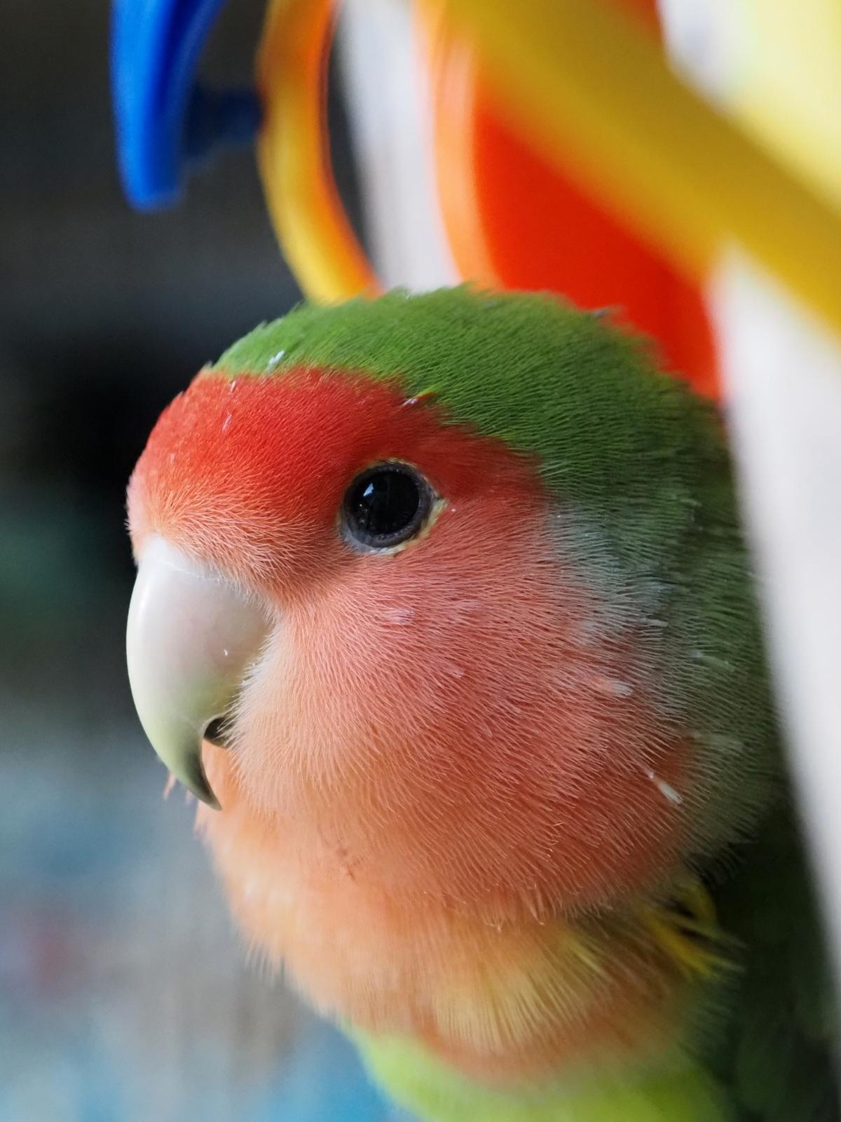 Closeup of a lovebird